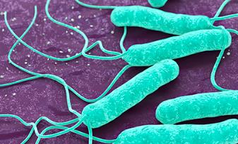 Hélicobacter pylori, une bactérie super organisée